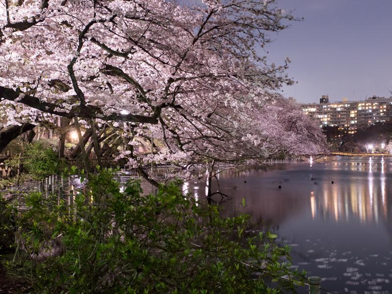 桜 素材のニュース画像