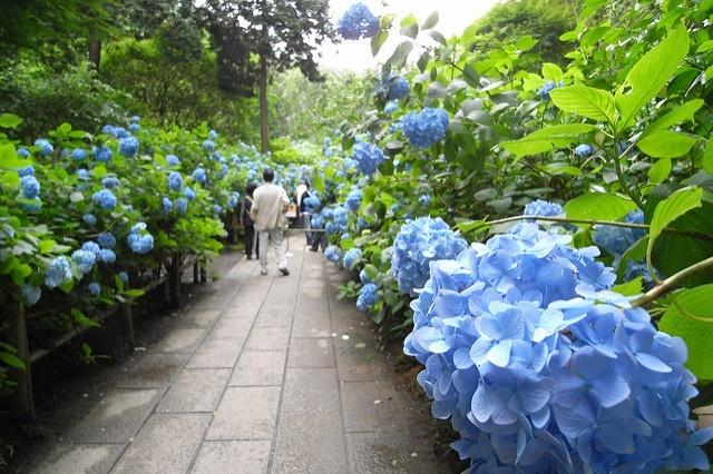 梅雨の時期が見ごろ!鎌倉あじさい散歩おすすめスポット3選