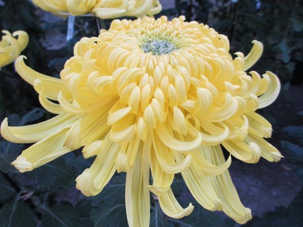 季節の花をネイルで楽しもう!10月から咲く菊・パンジー