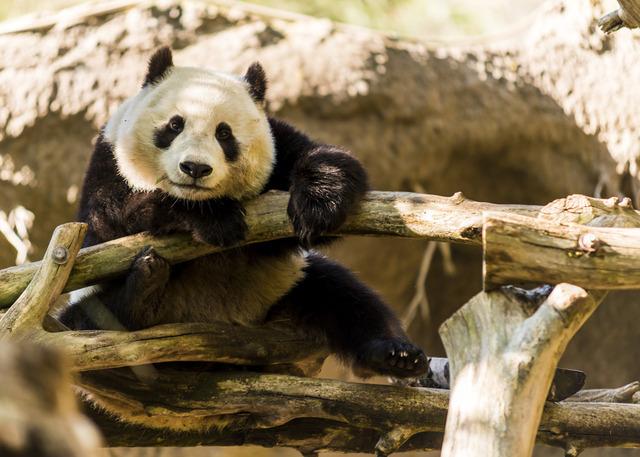 カワイイ パンダのニュース画像