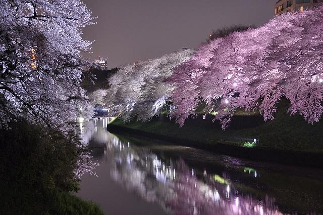 桜のトンネルでお花見デート 春の絶景「千鳥ヶ淵」の夜桜が美しすぎる