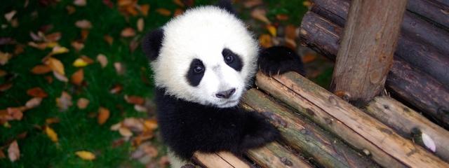 パンダ 画像のニュース画像