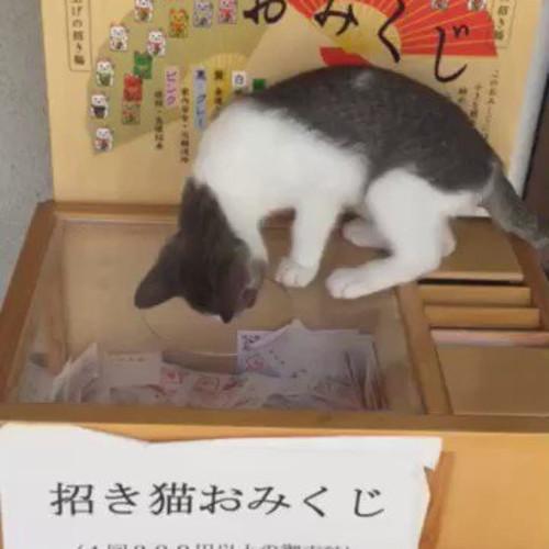 猫がおみくじに運を!?福井県の「猫寺」がツイッターで大人気!ランキング