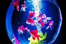 日本の美しい夏を指先で味わう♡【金魚ネイル】が最強アツい♪