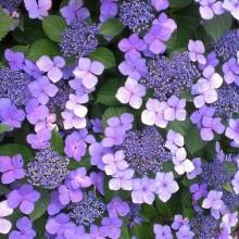 梅雨の季節、紫陽花カラーのパープルネイルまとめ