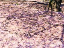 満開より好き。桜の絨毯が私をせつなくさせるから