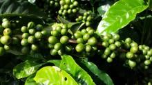緑のコーヒーで痩せる?『グリーンコーヒーダイエット』