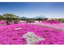 絶景を楽しんで!「2017富士芝桜まつり」4月15日開幕