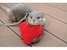 ハートで遊ぶカワウソに胸キュン…バレンタインは水族館へGO!