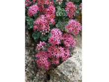 秋に咲く高山植物「ミセバヤ」を見に六甲高山植物園へ行こう!