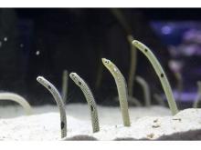 すみだ水族館でチンアナゴの謎だらけな生態を学べるイベント