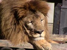 鼻うがい?水飲みがネットで話題のライオン「ハヤテ」素顔は愛妻家