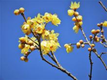 横浜の里山で早春の花をめぐる冬さんぽ「自然観察会」開催
