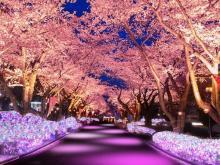 夜桜×イルミネーション!遊園地でひと味違うお花見を満喫