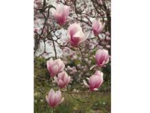 3/31は無料で園内開放!咲き乱れるマグノリアを観に行こう