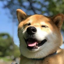 """フォロワー250万越え""""柴犬まる""""、飼い主明かすSNS投稿の""""シンプル""""ルール"""