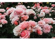 六甲山カンツリーハウスに「バラの小径」がオープン!