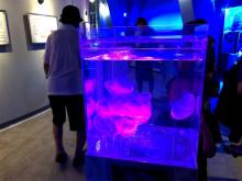 特別なクラゲを一挙展示!越前がにミュージアムの「クラゲ展」