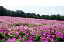 見渡す限りピンクの花じゅうたん!1万株のペチュニアが見頃
