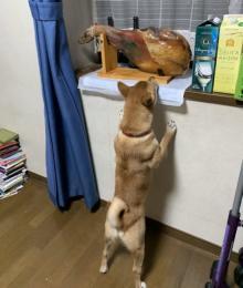"""生ハムとの""""同居""""に気づいた柴犬の必死な姿がかわいすぎた「あと少しで届くのに…」"""