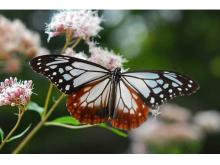海を渡る蝶「アサギマダラ」がフジバカマの見頃と共に飛来!