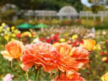 小田原フラワーガーデンに「秋バラ」のシーズン到来!