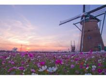 オランダ風車を背景に50万本のコスモスが咲き誇る!