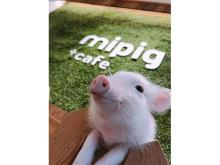 マイクロブタさんとふれあえる「mipig café」が原宿にOPEN!