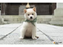 23代目・豆助は白柴犬!「二代目和風総本家」10/10に初登場
