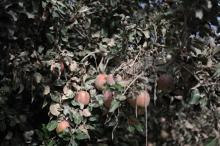 おいしく食べて被災地を支援!ロールアイスクリームファクトリーに「台風19号災害支援りんご」を使った新作が登場します