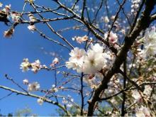 """冬桜の名所に近い「おふろcafe 白寿の湯」で""""冬桜まつり""""開催"""