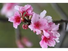 """日本一早い桜を見に沖縄へ行こう!""""冬の花見""""を楽しむお得な宿泊プラン"""