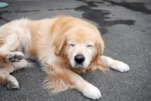 """翁の能面のような優しい顔…ゴールデンレトリバーの""""おじいわん""""に反響「老犬の魅力伝えていきたい」"""
