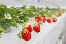 化学農薬不使用!イチゴ5種を食べ比べできる「山田みつばち農園」のイチゴ狩り