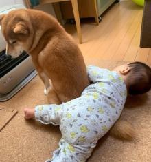 「ここから先は俺の毛で温まってくれ」柴犬と赤ちゃんがストーブ前で繰り広げる攻防に反響
