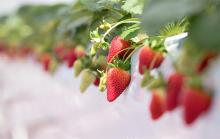"""イチゴとチョコのマリアージュを満喫♡「東京ストロベリーパーク」で""""ベリー ハッピー チョコレートデイ""""が開催"""