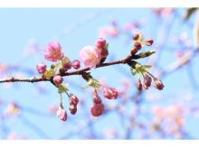 八芳園で「河津桜」が開花!ライトアップや桜チョコで一足早い春を楽しもう