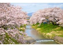 """""""インドア花見""""で満開の桜を楽しもう!「郡山桜ライブカメラ」配信"""
