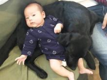 「我が家のセコムに」赤ちゃんをじっと見守る黒ラブ犬、頼もしさと可愛らしさに反響