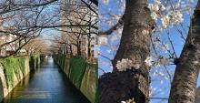 目黒川の桜並木が「はちみつ」になってお目見え♡ディーン&デルーカ限定店舗、オンラインショップで販売!