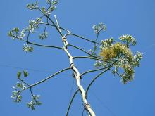 40~50年に一度だけ咲く「アガベ・テキラーナ」東南植物楽園で開花!