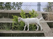 崖の上にいたヤギ『ポニョ』に会える!「佐倉草ぶえの丘」にて8/29一般公開