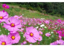 約100万本のコスモス花畑!「横須賀市くりはま花の国」にて開催