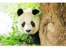 シャイでかわいいパンダ「タンタン」の写真集が発売!