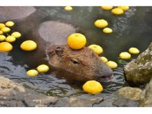 冬の風物詩!伊豆シャボテン動物公園で「元祖カピバラの露天風呂」を開催