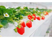 化学農薬不使用!山田みつばち農園にて「摘み採りイチゴの量り売り」開催