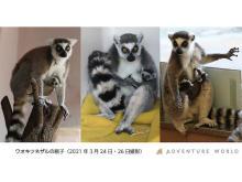 和歌山「アドベンチャーワールド」に4頭のワオキツネザルの赤ちゃんが誕生