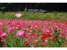 「横須賀市くりはま花の国」で100万本のポピーやネモフィラが見頃に