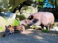 伊豆シャボテン動物公園で「ジェフロイクモザル」などの赤ちゃんが続々誕生