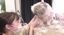 橋本環奈、相葉雅紀とシー・ズーをトリミング 新しい飼い主を見つける一歩をお手伝い